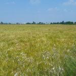 Busa-dei-briganti-birra-agricola-coltivazione-3